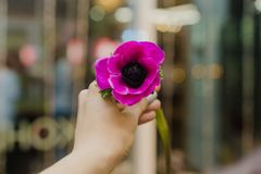 Allein purpurrote Blumenwerkstatt in der Hand stockbild