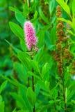 Allein rosafarbene Blume Stockfoto