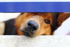Allein trauriges Hundemündungsportrait, das wenig Loch schaut Stockbild