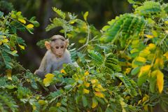 Alleinbabyaffe sitzt auf einem grünen Baum und dem Schauen in der Kamera durch Blätter Stockfotografie