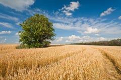 Alleinbaum auf dem Weizengebiet Stockbilder