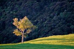 Alleinbaum auf Hügelsteigung lizenzfreies stockfoto