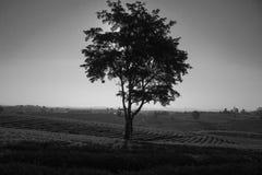 Alleinbaum in der Teeplantage bei Nord-Thailand Stockbild