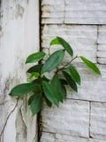 Alleinbaum ist in der Wand wachsend Lizenzfreie Stockbilder