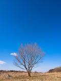 Alleinbaum und blauer Himmel in der Herbstzeit Stockbild