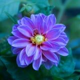 Alleine Dahlie in voller Blüte lizenzfreies stockbild