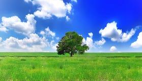 Alleine ein großer Baum auf grünem Feld. Panorama Stockfotografie