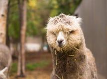 Alleine Lama-Augen bedeckt vom Haar und von Straw Blonde Lizenzfreie Stockbilder