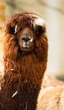Alleine Lama-Augen bedeckt vom Haar und von Straw Rust Blonde Lizenzfreie Stockfotografie