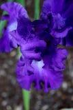 Alleine purpurrote Iris in der Blüte Stockfoto