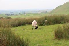 Alleine Schafe auf Yorkshire machen fest Lizenzfreies Stockfoto