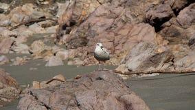 Alleine Seemöwenstellung auf dem Felsen, der in Richtung zur Kamera gegenüberstellt stock video footage