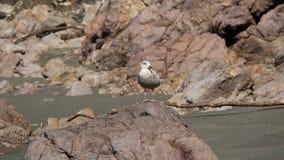 Alleine Seemöwenstellung auf Felsen und dem Start stock footage