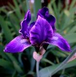 Alleine sibirische Iris in der Blüte Lizenzfreies Stockbild