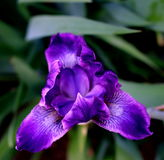 Alleine sibirische Iris in der Blüte Stockfotografie