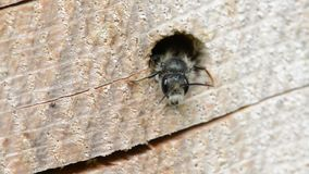 Alleine wilde Biene Osmia-bicornis, die aus einem Loch in einem Baumstamm heraus schauen Es wird für anzieht gute Programmfehleri stock footage