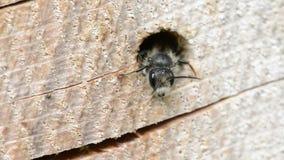 Alleine wilde Biene Osmia-bicornis, die aus einem Loch in einem Baumstamm heraus schauen Es wird für anzieht gute Programmfehleri stock video footage