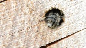 Alleine wilde Biene Osmia-bicornis, die aus einem Loch in einem Baumstamm heraus schauen Es wird für anzieht gute Programmfehleri stock video