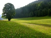 Alleiner Baum auf alpiner Wiese lizenzfreie stockbilder
