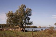 Alleiner Baum in Donau-Querneigung Stockbild