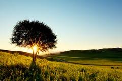 Alleiner Baum im goldenen Sonnenuntergang Stockfotografie