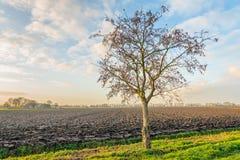 Alleiner Baum am Rand eines gepflogenen Feldes Stockfotos