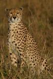 Alleiner Gepard stockfotos