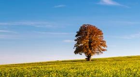 Alleiner großer Baum - Autumn Colors Stockfotografie