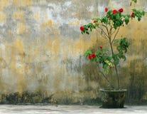 Alleiner roter Rosenbusch im rustikalen Topf gegen verwitterte, gelbe Wand. Stockbild