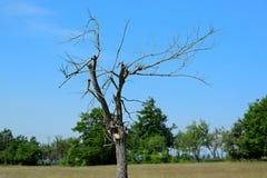 Alleiner toter alter Baum lizenzfreie stockbilder