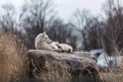 Alleiner weißer Wolf Lizenzfreie Stockfotos
