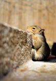 Alleines Baby-Eichhörnchen Lizenzfreies Stockbild