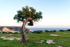 Alleinjohannisbrotbaum-Baum auf dem Hügel Lizenzfreie Stockfotos