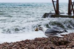 Alleinmöve auf dem Strand Lizenzfreies Stockbild