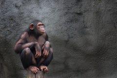 Alleinporträt des jungen Schimpansen, sitzendes Ducken auf einem Stück Holz Stockfotos