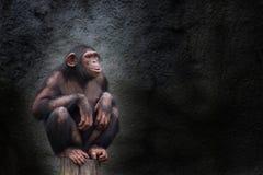 Alleinporträt des jungen Schimpansen, sitzendes Ducken auf Stück Holz Stockfotografie