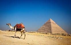 Alleinpyramide und einsames Kamel Stockfotos
