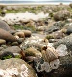 Alleinrankenfußkrebs auf doppeltem Täuschung-Strand Stockbild