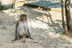 Alleinsitzen des nachdenklichen Affen auf einem Sand Stockbilder