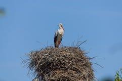 Alleinstorch, der im Großen Nest steht Stockbilder