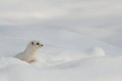 Alleinwinter wenig Wiesel im zeitlichen Schneebau Stockfotos