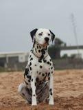 狗allemand arlequin 图库摄影
