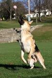 Allemand Shepard sautant pour sa verticale de boule Photographie stock libre de droits
