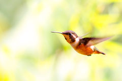 Allen Hummingbird In Flight Royalty Free Stock Images