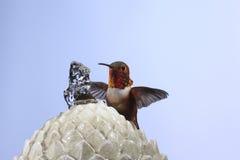 allen hummingbird s Arkivbild