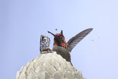 allen hummingbird s Royaltyfria Bilder