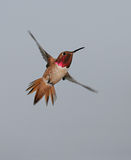 allen hummingbird s royaltyfria foton