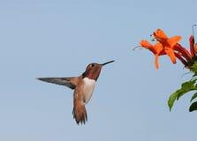 allen kolibra s Obraz Royalty Free