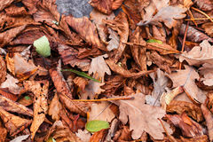 Allen leaves of chestnut, maple, oak, acacia. Brown, red, orange and gren Autumn Leaves Background Royalty Free Stock Images