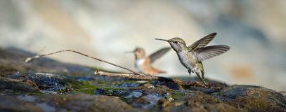 Allen's and Anna's Hummingbirds. Two hummingbirds bathing at El Polin Spring in the Presidio of San Francisco royalty free stock photo